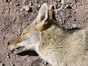 The dead coyote.