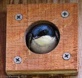 Tree Swallow, Silver Creek Preserve, Picabo, ID