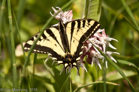Swallowtail Butterfly, Silver Creek Preserve, Picabo, ID