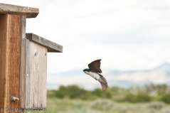 Tree Swallow, Silver Creek Preserve, Picabo, ID
