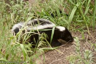 Baby Skunk, Silver Creek Preserve, Picabo, ID