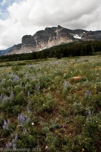 Field of Wildflowers, Glacier National Park, MT.