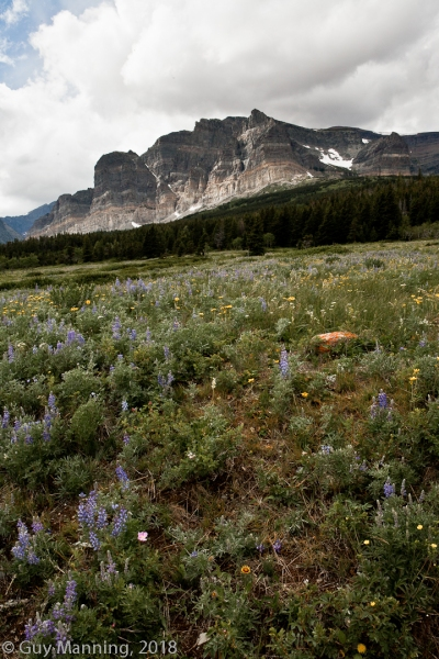 Field of Wildflowers, Glacier National Park, MT.