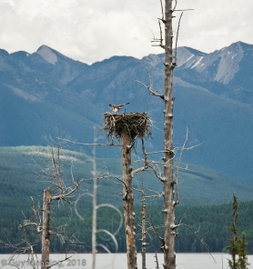 Osprey landing on its nest.