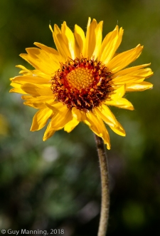Sunflower, from Aster family.