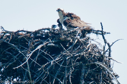 Osprey feeding time.